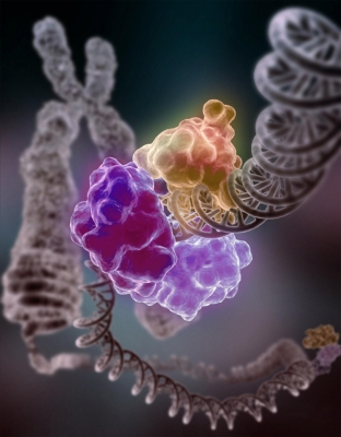 An enzyme repairs a broken DNA strand.