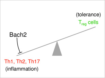 Bach2 plays a pivotal role in preventing autoimmunity. Bach2 stabilizes the development of Treg cells by limiting T-helper cell (Th1, Th2 and Th17) differentiation in CD4+ T cells.