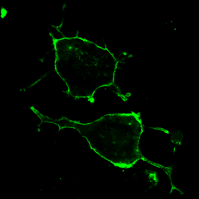 Fluorescently labeled botulinum toxin A accumulates along the intracellular membrane of rat neuron cells.