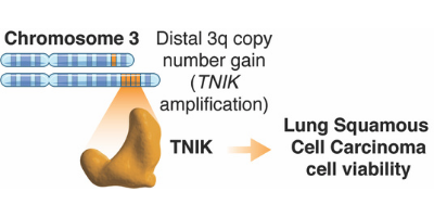 Proposed model on how amplified TNIK contributes to LSCC progression