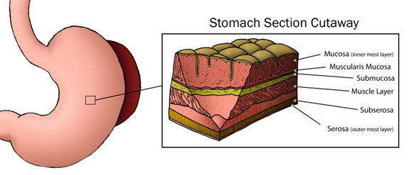 Medical illustration showing cutaway section of the stomach