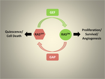 RAS switches between active and inactive conformations. Inappropriate RAS signaling can lead to excessive proliferation and the formation of cancer. One newly identified mechanism used to promote RAS activation is the loss of GAP proteins, which help to turn RAS off. Reactivating these GAPs may be therapeutically beneficial in tumors with reduced GAP expression.