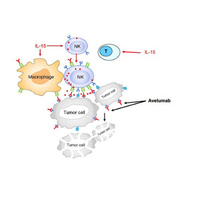 "Adapted ""Schema of in vivo working model between T-cells, NK cells and macrophages and Avelumab during antitumor immune response"