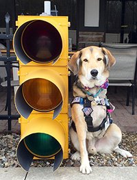 Three legged service dog poses next to a traffic light.