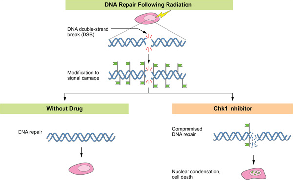 Exposing a cell to ionizing radiation can result in the formation of DNA double strand breaks. These breaks destabilize the cell's genomic integrity and must be repaired for cell survival. In response to the damage, proteins become modified (green flags) to inhibit the cell cycle and to direct repair factors to the break site.  Cells with normal p53 in the presence or absence of a Chk1 inhibitor are able to repair the damaged DNA.  Cells expressing mutated p53, however, fail to properly repair the double st