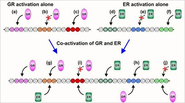 Modulation of ER and GR activity by reprogramming the genome; A new mechanism governing transcription factor access in cancer development and progression.