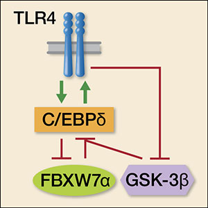 There is a positive feedback loop between C/EBPδ and TLR4 and a negative feedback loop between C/EBPδ and FBXW7α, which together regulate TLR4 signaling and pro-inflammatory gene expression. Phosphorylation of C/EBPδ by GSK-3β is required for its degradation by FBXW7α. Therefore, inhibition of GSK-3β by TLR4 stabilizes C/EBPδ.