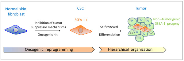 In vitro transformation induces reprogramming of differentiated fibroblasts and confers cancer-stem-cell (CSC) properties. Acquisition of self-renewal and differentiation ability allows reprogrammed somatic cells to initiate and maintain tumors. During tumor growth, SSEA-1+ CSCs differentiate into phenotypically diverse, non-tumorigenic cancer cells, thereby generating heterogeneous and hierarchically-organized tumors.
