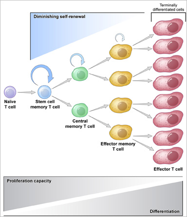 Stem-cell-like memory cells have physical characteristics of very young immune cells. They still have the potential to differentiate and become many different types of immune cells, making them extremely valuable.