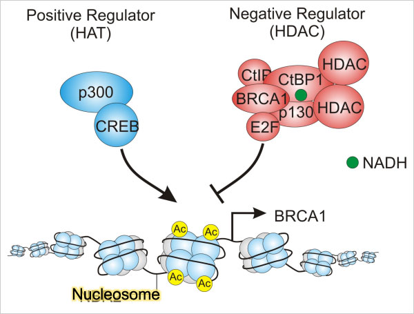 At the nucleosome, the CtBP1 protein increases the NAD+/NADH ratio and can activate the BRCA1 expression, increase the DNase I hypersensitivity, increase the histone acetylation and reduce the HDAC1 recruitment, removing BRCA1 from its own promoter.