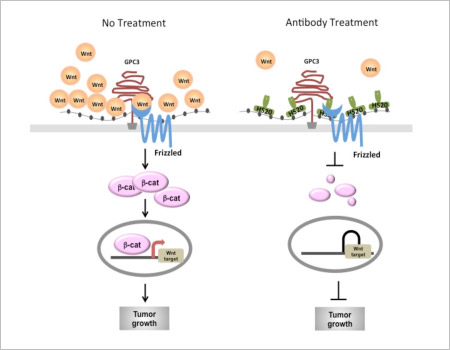 Treatment with the new human monoclonal antibody, HS20, blocks the Wnt/β-catenin signaling pathway and inhibits hepatocellular carcinoma tumor growth in mice.