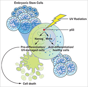 """When damage occurs such as UV radiation, p53 expression plays a dual role in embryonic cells.  Its expression both removes the unhealthy cells from the stem-cell pool by promoting programmed cell death or differentiation. At the same time, p53 activates the Wnt pathway to inhibit the differentiation of surrounding, healthy embryonic stem cells to maintain a population for the development of the organism."""