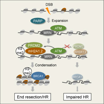 DNA break-induced chromatin condensation promotes BRCA1-dependent genome maintenance.