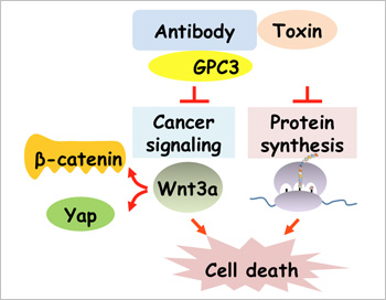 Mitchell Ho, Ph.D., and colleagues generated a new immunotoxin, HN3-PE38, that recognizes GPC3 for liver cancer therapy. Administration of HN3-PE38 induces regression of liver tumor xenografts in mice by dual mechanisms: inactivation of cancer signaling (Wnt/Yap) via the antibody and inhibition of protein synthesis via the toxin. This study establishes GPC3 as a promising target for immunotoxin-based liver cancer therapy.