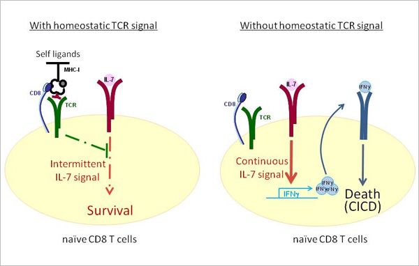 Image displays effects of presence and absence of homeostatic TCR signaling on CD8 T cells