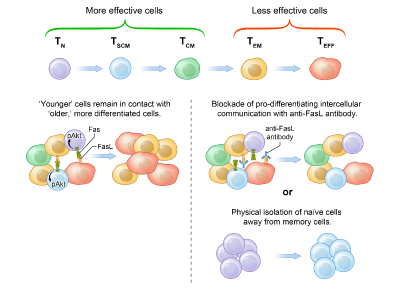 Adoptive cell transfer of purified naive, stem cell memory and other T cell subsets