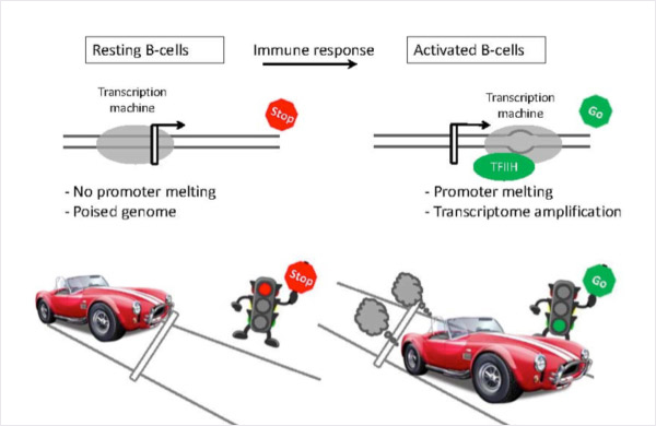 Unmelted promoters help to limit transcription in resting B cells (left), whereas in activated B cells promoters are melted and transcription has progressed further downstream to support higher levels of expression (right).