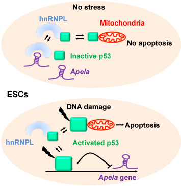Regulatory RNA Apela in DNA damage response of embryonic stem cells (ESCs)