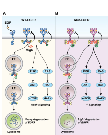 A model of the regulation of wild type (WT) and mutant (Mut) epidermal growth-factor receptor (EGFR) by Mig6. (A) Mig6 binds to and inhibits the kinase activity of activated WT EGFR, promoting EGFR trafficking to the degradation pathway. Phosphorylation of Mig6 by EGFR enhances the interaction of the two proteins but reduces Mig6's inhibition of EGFR. (B) Mut EGFR is constitutively active, which results in constitutive phosphorylation of Mig6, increased interaction between Mig6 and Mut EGFR, and decreased d