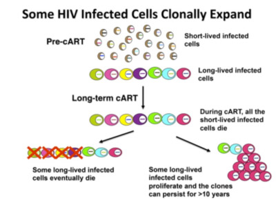 In an untreated patient, most HIV-infected cells die within one or two days. A small fraction of the infected cells is long-lived. Successfully treating a patient with combination antiretroviral therapy (cART) prevents any additional cells from becoming infected, and all of the short-lived infected cells die. Although some long-lived infected cells also die, some long-lived cells persist in patients, preventing them from being cured. Some infected cells can grow and divide, and some of these expanded clones