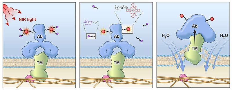 near-infrared immunotherapy