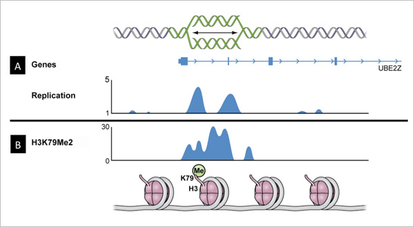 The locations in which DNA synthesis begins often coincide with regions in which the particular histone modification is observed. (A) Snapshot of DNA replication and histone modifications in a representative genomic region. Blue peaks designate the location in which DNA synthesis begins in cancer cells, as shown by the schematic cartoon above. (B) Blue peaks designate areas in which histone H3 methylation on lysine 79 was detected, as shown by the schematic cartoon below. The locations in which DNA synthesi
