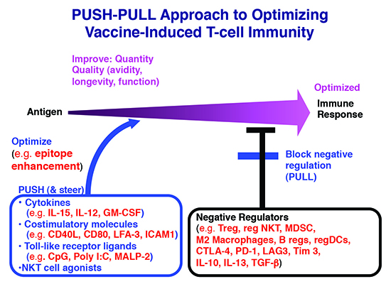 Image of the Push-Pull approach to Optimizing Vaccine-Induced T-cell Immunity