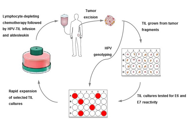 Outline of first HPV-TIL protocol.