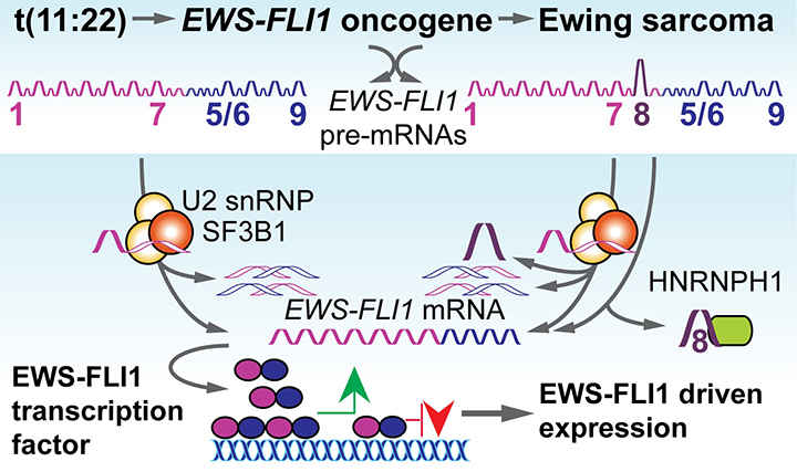 Image of Splicing factors SF3B1 and HNRNPH1 are critical for the correct expression of the Ewing sarcoma protein EWS-FLI1.