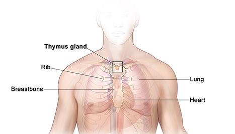 Anatomy of thymus gland