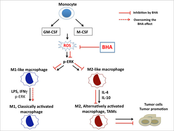 BHA blocks GM-CSF or M-CSF- induced ROS generation and the second phase of ERK activation, and further blocks the polarization to M2 macrophages. The effect of BHA is specific for M2 cells, since the inhibition effect of BHA is overcome during M1 but not M2 polarization. Tumor-associated macrophages (TAMs), which are responsible for tumor-promoting activities, are alternatively activated, or M2-like macrophages. Blocking the function of M2 cells/TAMs inhibits tumorigenesis.