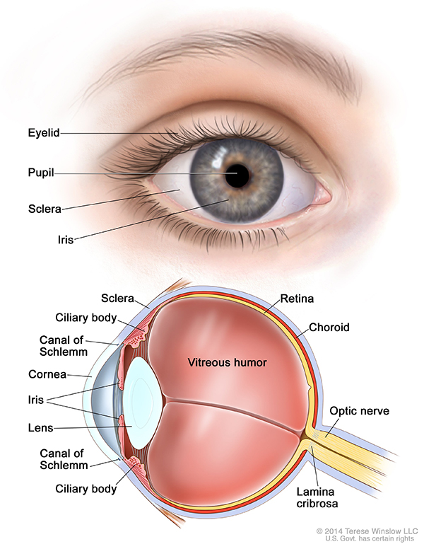 Iris and parts of eye