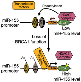 Normal BRCA1 epigenetically represses miR-155 expression via its association with HDAC2, which deacetylates H2A and H3 on the miR-155 promoter.