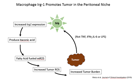 Macrophage Irg-1 Promotes Tumor in the Peritoneal Niche