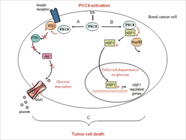 The natural product englerin A (EA) activates PKCθ. PKCθ phosphorylates IRS1 to inhibit the insulin pathway and glucose uptake in renal cancer cells. Simultaneously, PKCθ phosphorylates and activates the transcription factor HSF1 to enhance the glucose dependence of renal cancer cells. By stimulating these opposing pathways, EA is synthetically lethal for glycolytic tumor cells expressing PKCθ and HSF1.