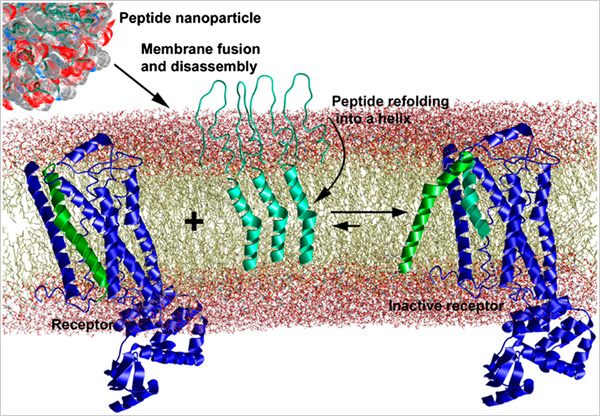 First the peptide adopts a hairpin-shaped conformation (teal ribbons) and then self-assembles into spherical nanoparticles that fuse spontaneously with the plasma membrane and disassemble. Once within the lipid bilayer, the peptide changes its conformation into an alpha-helix shape that interferes with the CXCR4 receptor (green).