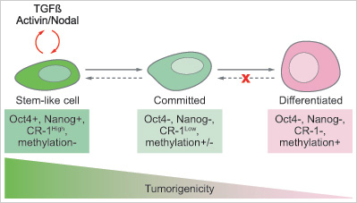 A proposed model for Cripto-1 (CR-1) gene expression and tumor forming ability in embryonal carcinoma cells. High-CR-1 cells also express stem cell proteins Oct4 and Nanog and show reduced DNA methylation. Low-CR-1 cells, however, express differentiation markers and have increased DNA modification. The level of CR-1 expression correlates with tumor-forming ability.