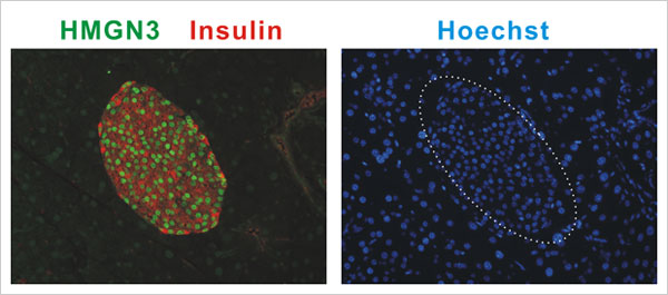 This image obtained from confocal immunofluorescence of mouse pancreas reveals that in the islets of Langerhans (specialized cells in the pancreas that make and secrete hormones), HMGN3 protein  is present in the nuclei of cells containing insulin. The red color demonstrates insulin in the cytoplasm and the green color visualizes HMGN3 in the nucleus. The blue nuclei are visualized by Hoechst DNA stain. The dotted white line outlines the pancreatic islet used to show the overlap of locations for nuclei (blu