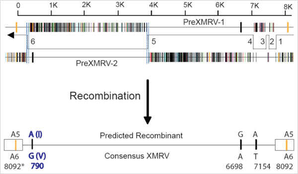 Two proviruses, PreXMRV-1 and PreXMRV-2,  share 99.92 percent identity with XMRV over 3200-base stretches of their genomes, and recombine to make a consensus XMRV sequence about 6500 bases in length.