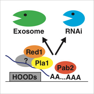 RNAi and/or the exosome, which act in an overlapping manner, silence sexual differentiation genes, genes encoding transmembrane proteins and retrotransposons. Both of these RNA degradation activities are activated by specialized machinery involving Pla1, Red1 and Pab2 proteins. RNAi-mediated degradation of RNAs and heterochromatin are regulated by environmental and developmental stimuli.